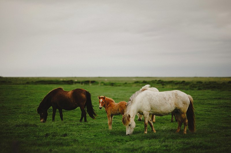 horses in iceland 4