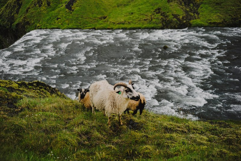 mountain goats iceland
