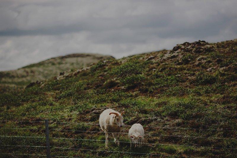 iceland sheep 2