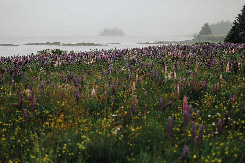 lupine field maine summer